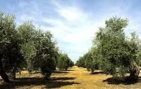 VENTA de parcelas con Olivar Ecológico en Povedilla