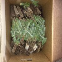 VENTA de pinos inoculados con Lactarius Deliciosus