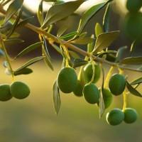 Venta de parcela con olivos ECO en Alcaraz (Albacete)